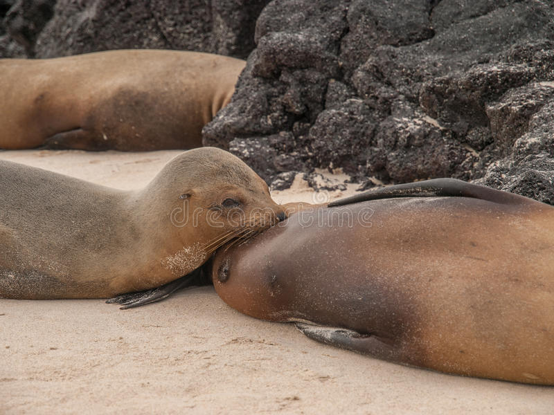 Nursing Sea Lion. Young sea lion pup nurses on mother sea lion on the beach surrounded by black lava rock in Galapagos Islands, Ecuador royalty free stock photography
