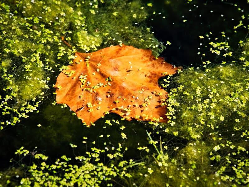 Nussartiges goldenes Ahornblatt in einem Teich lizenzfreie stockbilder