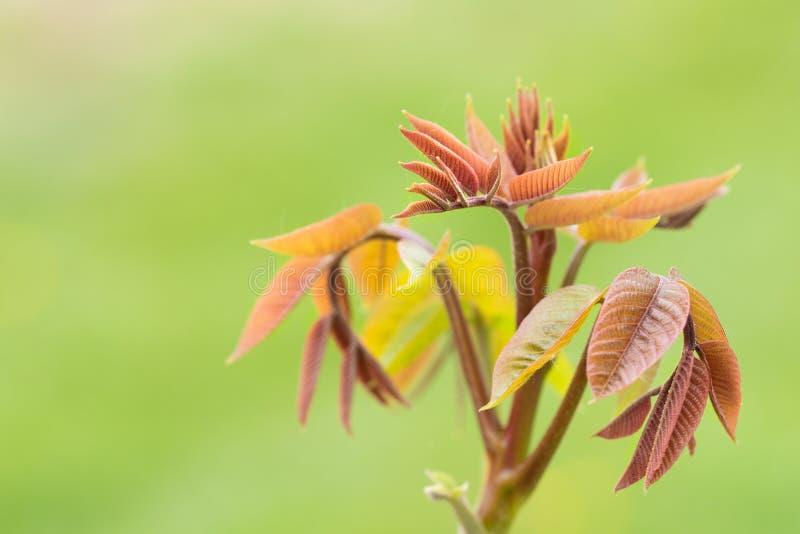 Nussbaum verlässt im Garten stockfoto