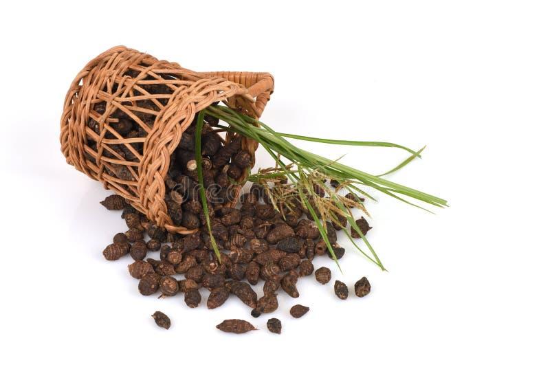 Nussgras, Coco bedecken Cyperus rotundus L mit Gras lizenzfreie stockfotografie