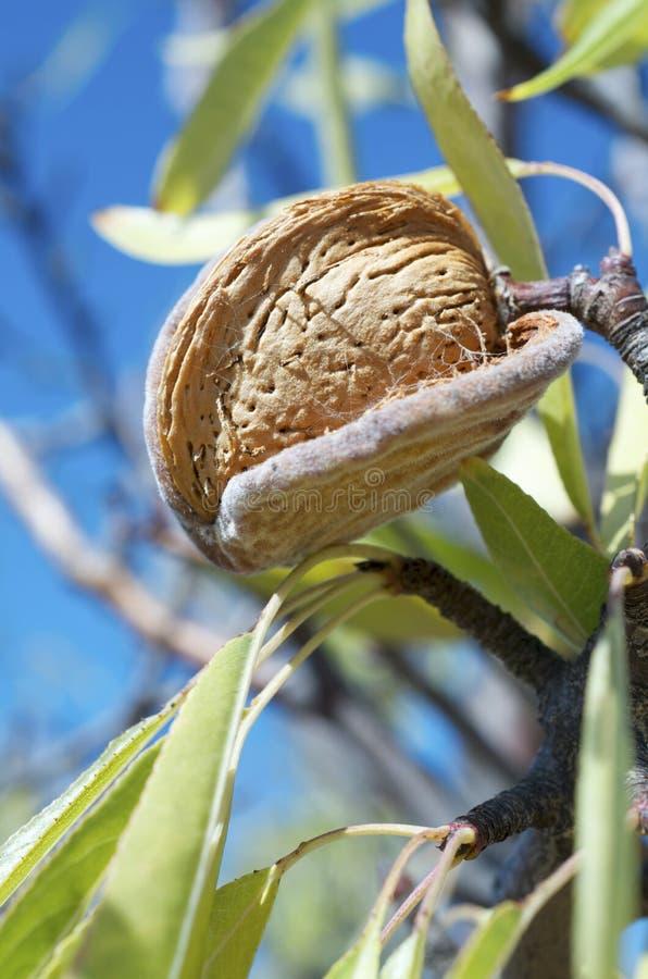 Download Nut stock image. Image of farming, autumn, farm, hanging - 21778539