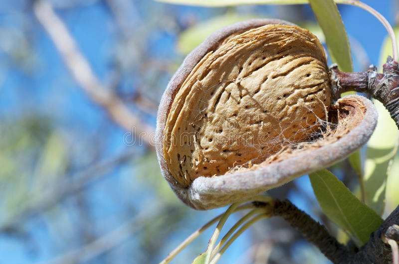 Download Nut stock photo. Image of healthy, green, botany, grow - 22111768