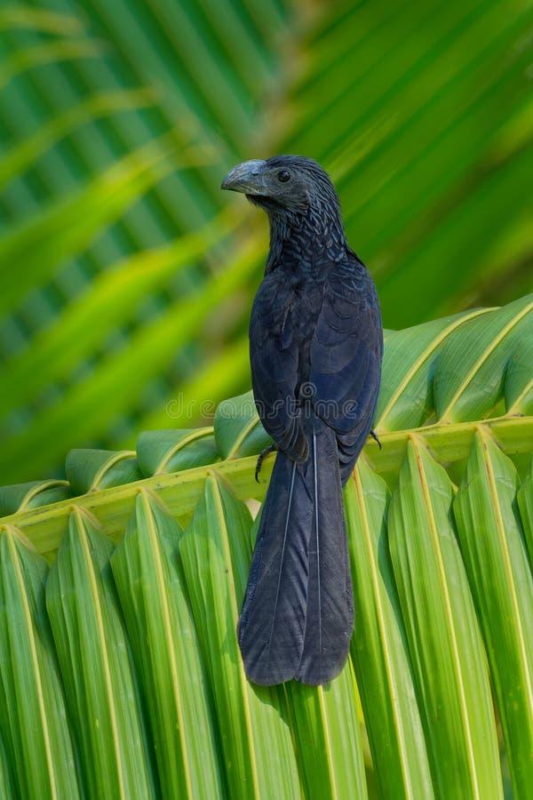 Nut-berechneter Ani - Crotophaga sulcirostris tropischer Vogel in der Kuckuckfamilie, im langen Schwanz und in einem großen, gebo lizenzfreies stockfoto
