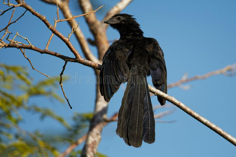 Nut-berechneter Ani - Crotophaga sulcirostris tropischer Vogel in der Kuckuckfamilie, im langen Schwanz und in einem großen, gebo lizenzfreies stockbild