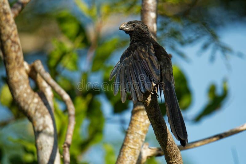 Nut-berechneter Ani - Crotophaga sulcirostris tropischer Vogel in der Kuckuckfamilie, im langen Schwanz und in einem großen, gebo stockbild