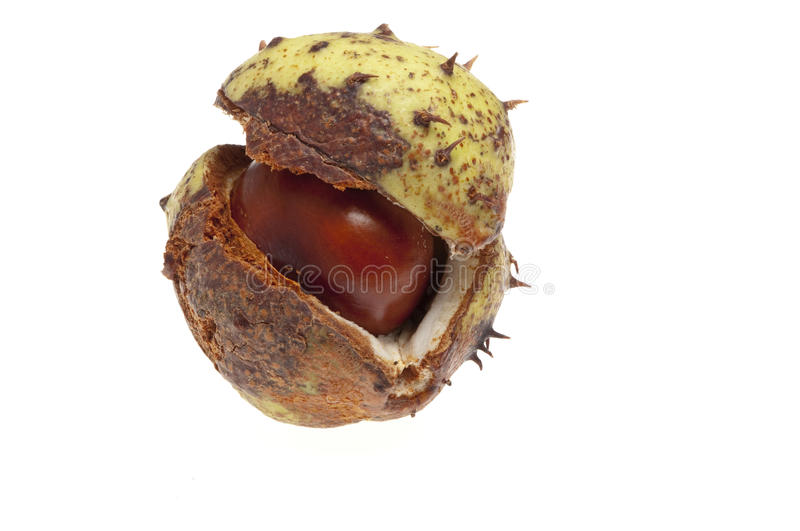 Nut case. Horse chestnut in case isolated stock photos