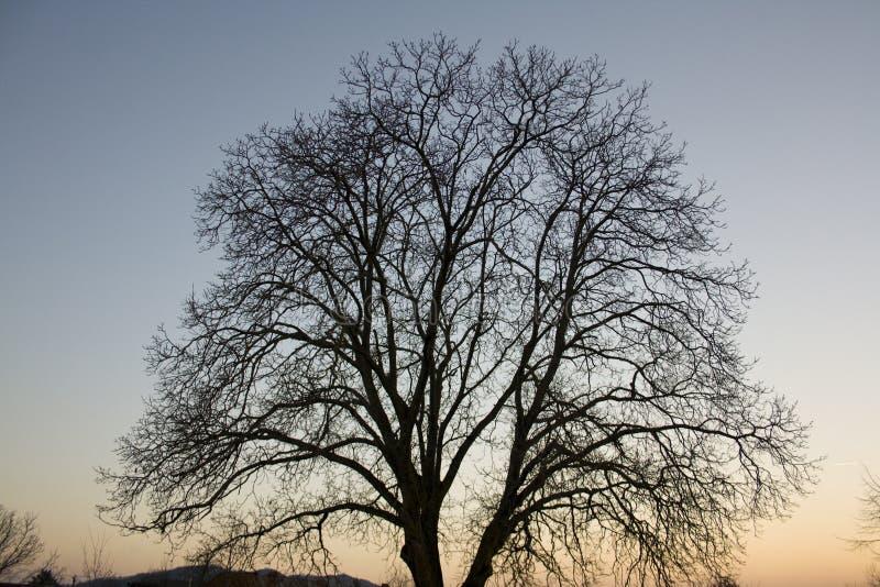 Nut tree crown stock image