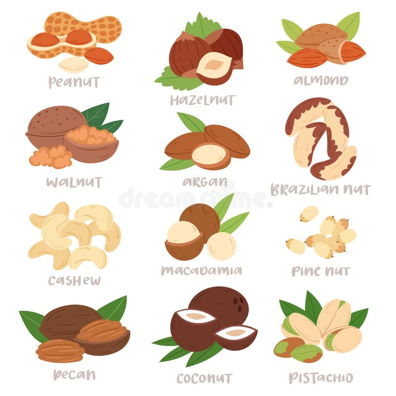 Nut vector nutshell of hazelnut or walnut and almond nuts set nutrition with cashew peanut and chestnuts nutmeg royalty free illustration