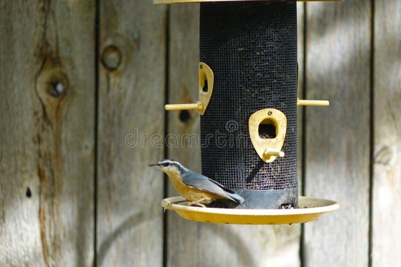Nuthatch à Bird Feeder - Idaho photo libre de droits