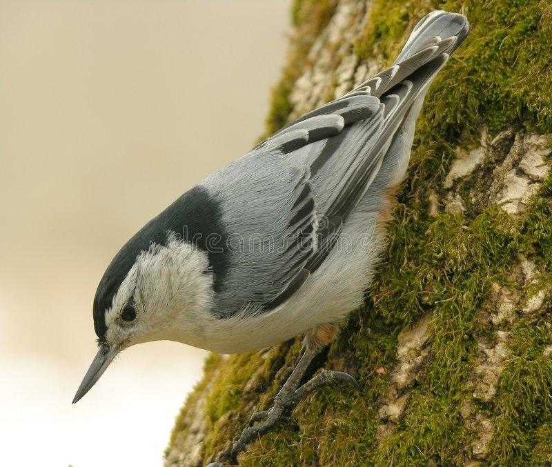 Nuthatch 01 stock images