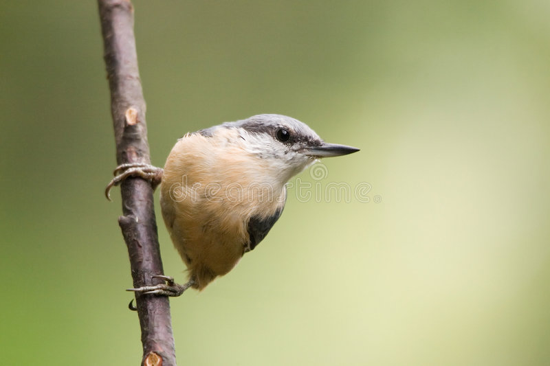 Nuthatch. Sitta europaea - Nuthatch - small birds belonging to the family Sittidae. Characterised by large heads, short tails stock photos