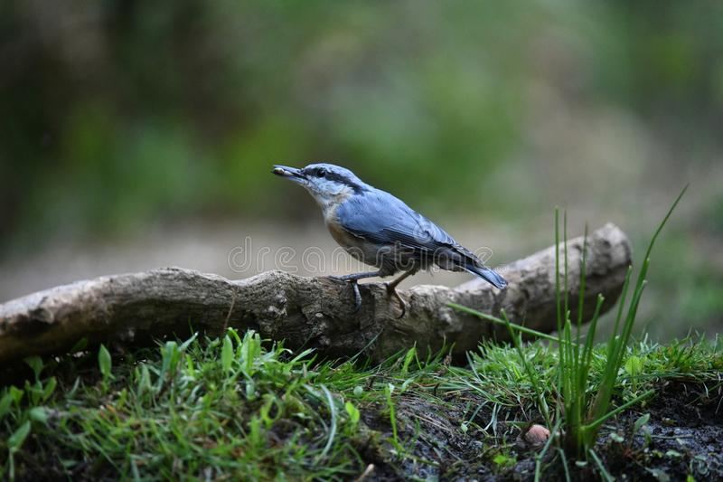 Nuthatch on a branch royalty free stock photography