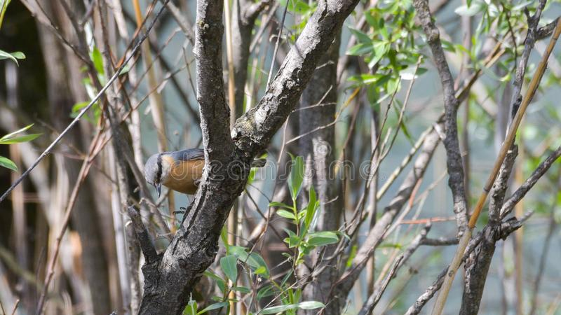 Nuthatch on the branch of willow in the spring royalty free stock photography