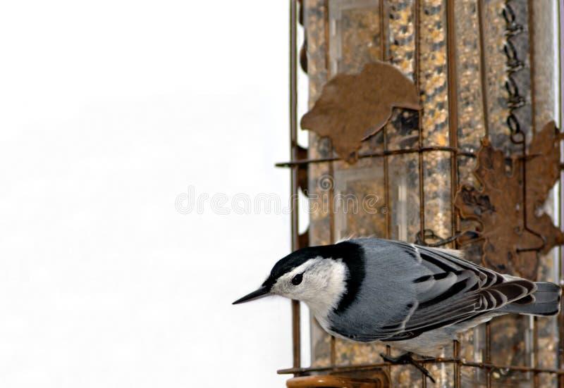 Nuthatch on feeder I royalty free stock photo