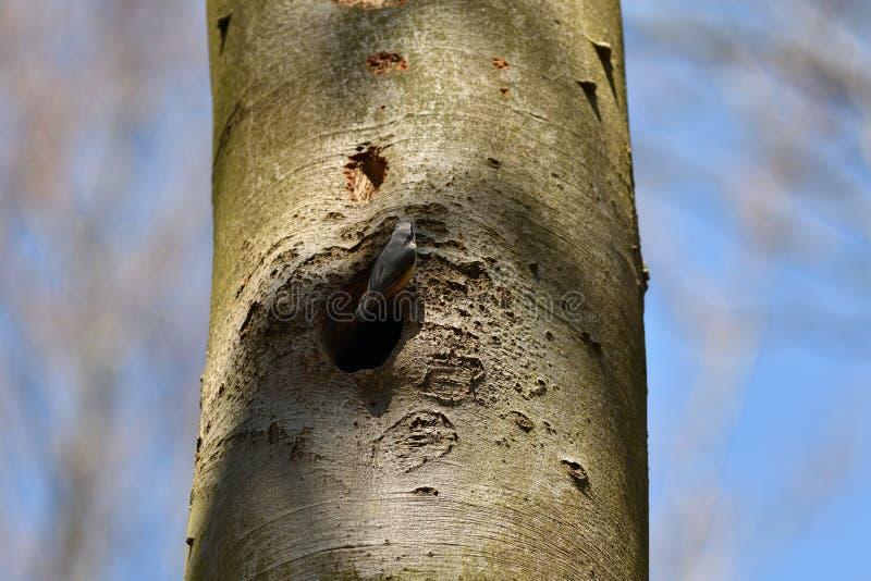 nuthatch het nest van de vogel in bomen in hout royalty-vrije stock foto