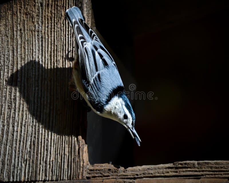 Nuthatch Liedvogel met Zonnebloemzaad in Bek royalty-vrije stock afbeeldingen