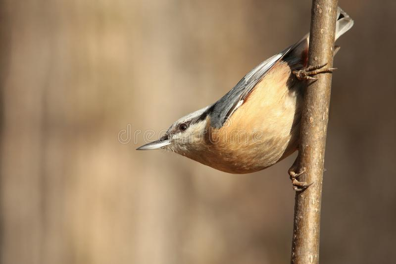 Nuthatch - Sitta europaea in the forest stock images