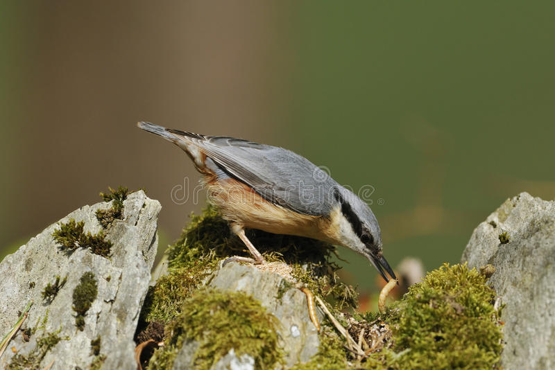 Download Nuthatch Royalty Free Stock Photos - Image: 32046118