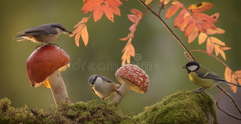 Download Nuthatch Standing With Mushroom And A Great Tit Stock Image - Image of horizontal, great: 101035743