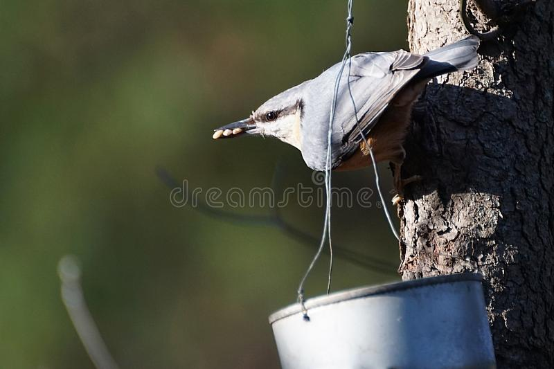 Sitta europaea- preparing to leave with three sunflower seeds. stock images