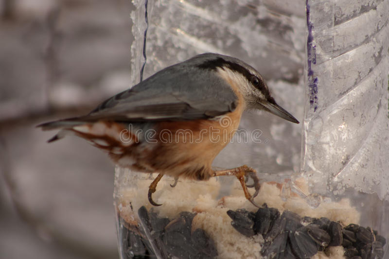 Download Nuthatch In Winter Stock Photo - Image: 83701197