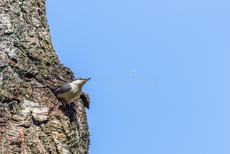 Nuthatch zitting in een boomgat stock afbeelding