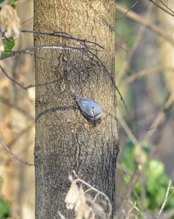 Nuthatch zitting op een boom stock afbeelding