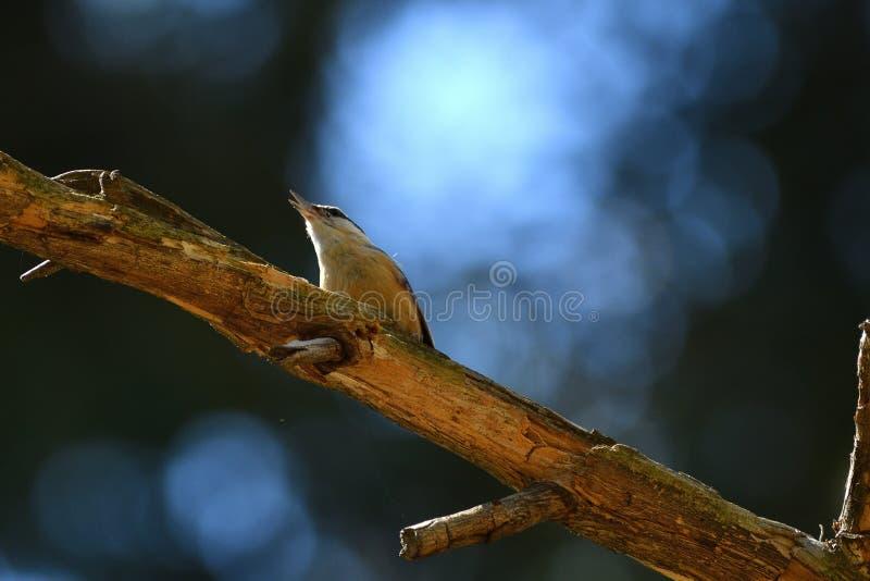 Nuthatch zitting op een tak in het bos royalty-vrije stock foto's