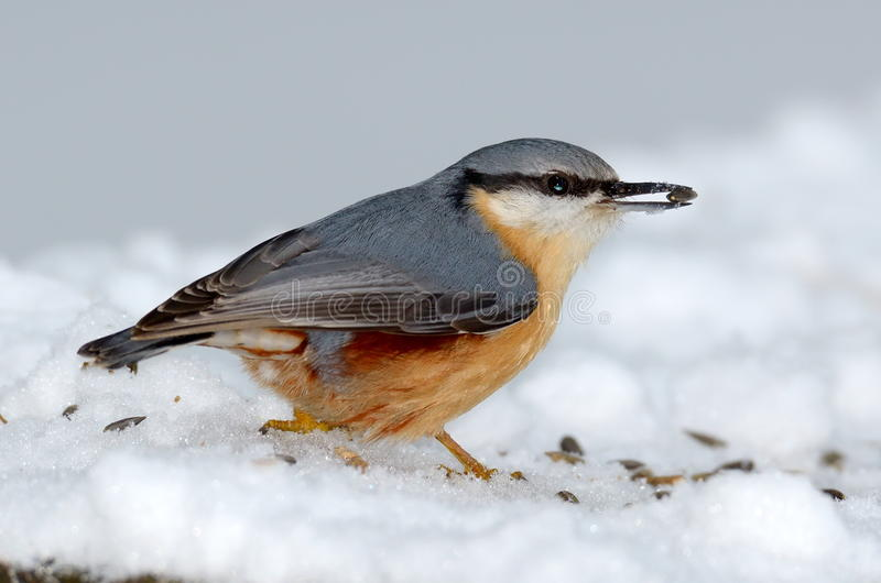 Nuthatchfågel i den naturliga livsmiljön (sittaeuropaeaen) arkivfoto