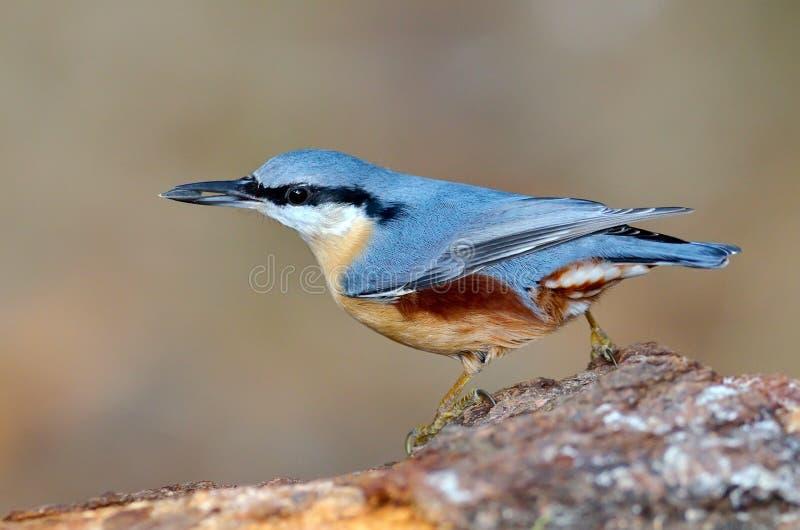 Nuthatchfågel i den naturliga livsmiljön (sittaeuropaeaen) royaltyfri fotografi