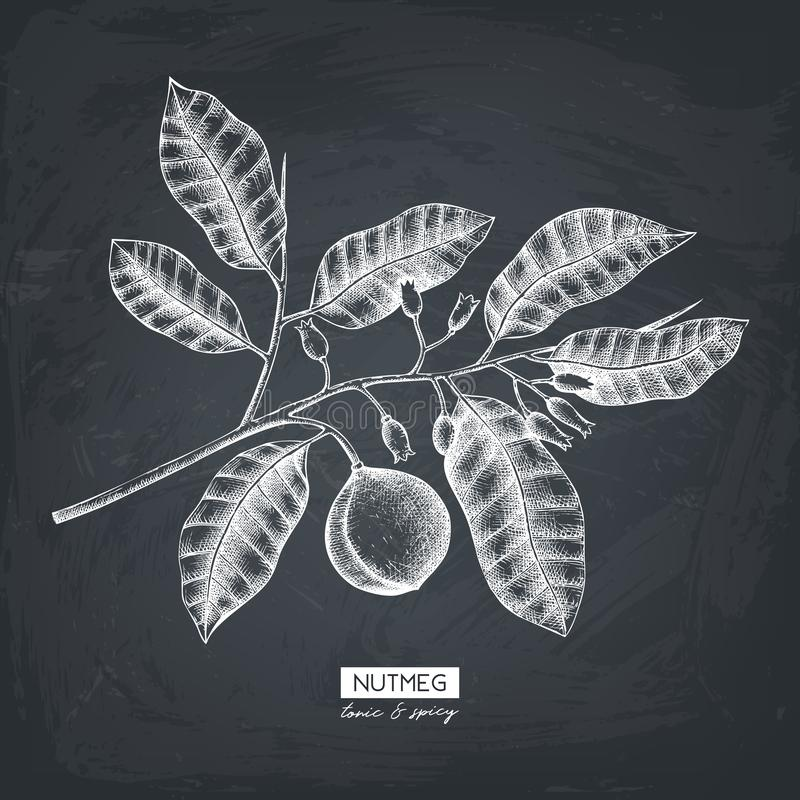Vector nutmeg illustration. Hand drawn tropical tree sketch. Botanical design template. Vintage tonic plant drawing on chalkboard vector illustration