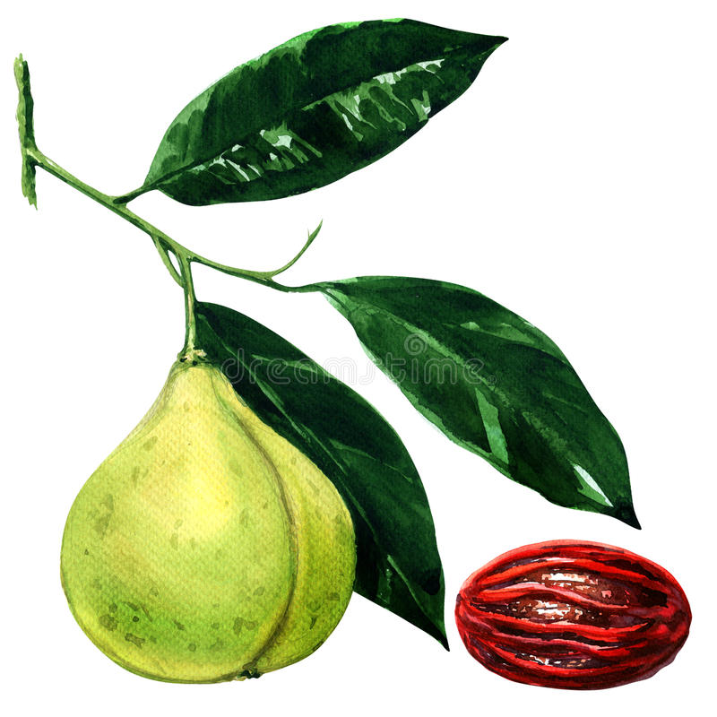 Nutmeg branch with leaves and seed , watercolor illustration stock illustration