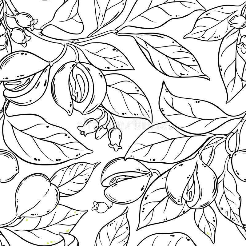 Nutmeg seamless pattern. Nutmeg branches seamless pattern on white background royalty free illustration