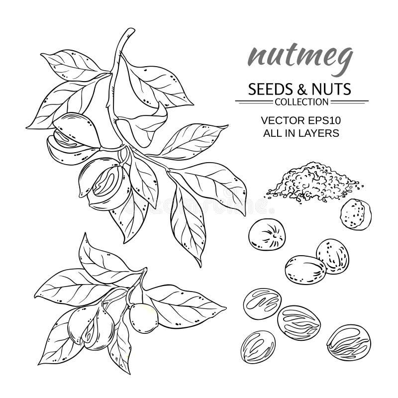 Nutmeg vector set. Nutmeg branches vector set on white background stock illustration