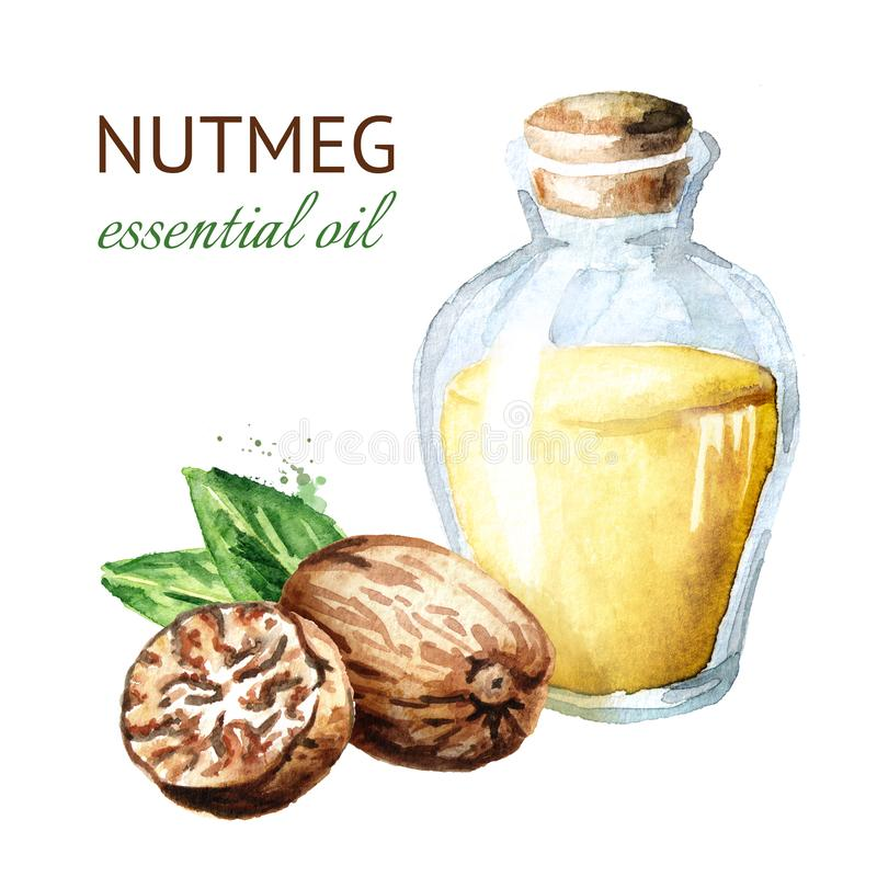 Nutmeg essential oil. Watercolor hand drawn illustration isolated on white background. vector illustration