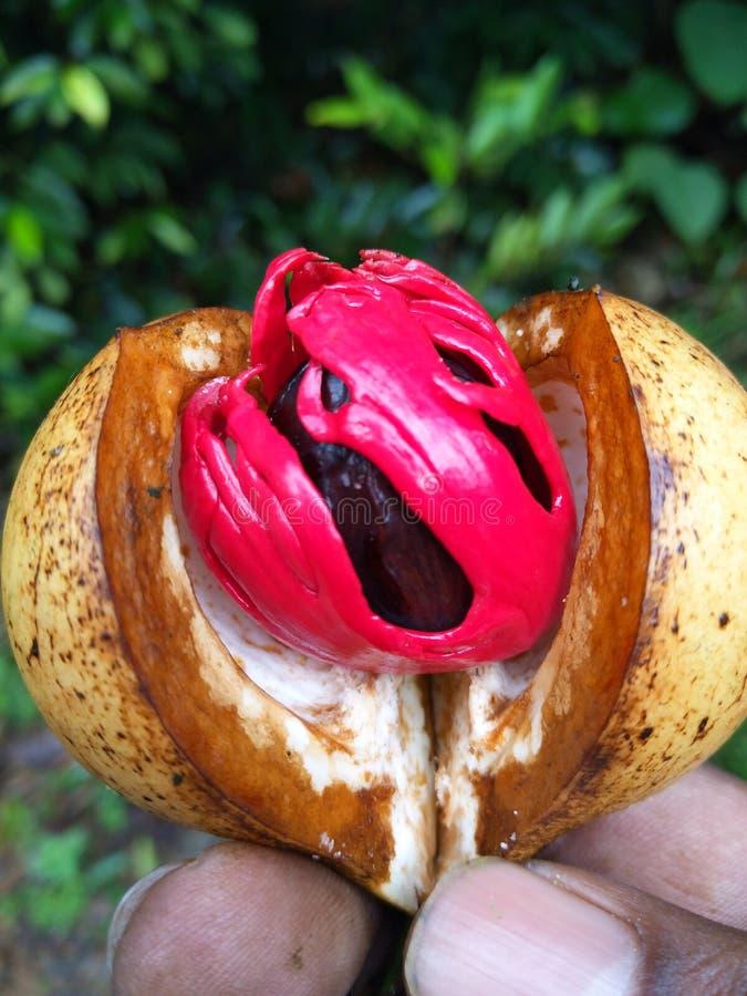 Nutmeg i buławy owoc jest to samo obrazy royalty free