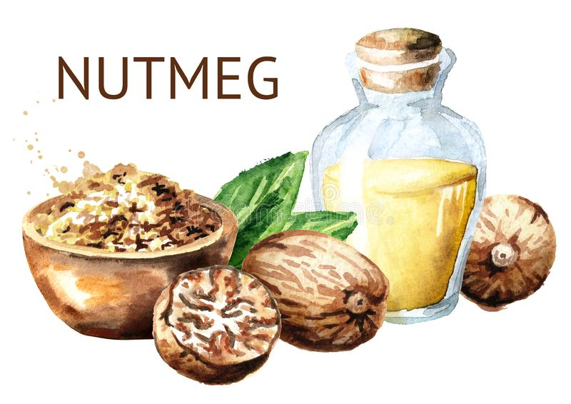 Nutmeg nut with powder and bottle of essential oil. Watercolor hand drawn illustration, isolated on white background. Nutmeg nut with powder and bottle of stock illustration