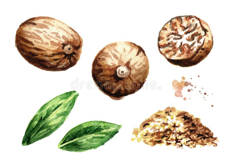 Nutmeg nut and powder design elements. Watercolor hand drawn illustration, isolated on white background. Nutmeg nut and powder design elements. Watercolor hand stock illustration