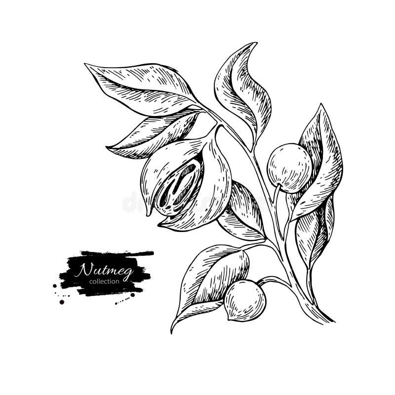 Nutmeg plant branch vector drawing. Botanical illustration. Vint stock illustration