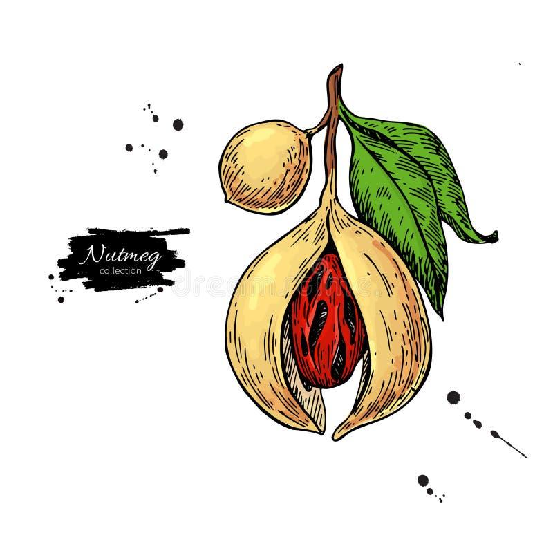 Nutmeg plant branch vector drawing. Botanical illustration. Vintage hand drawn spice sketch. royalty free illustration