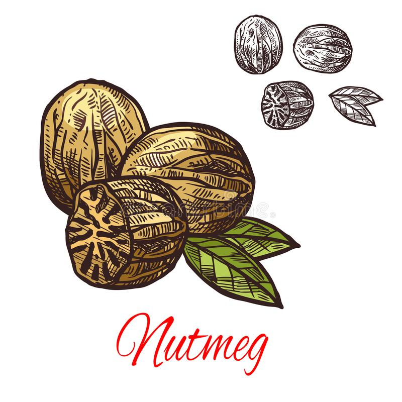 Nutmeg seasoning nut spice vector sketch icon. Nutmeg spice seasoning plant sketch icon. Vector isolated nutmeg fragrant nut for culinary cuisine cooking or royalty free illustration