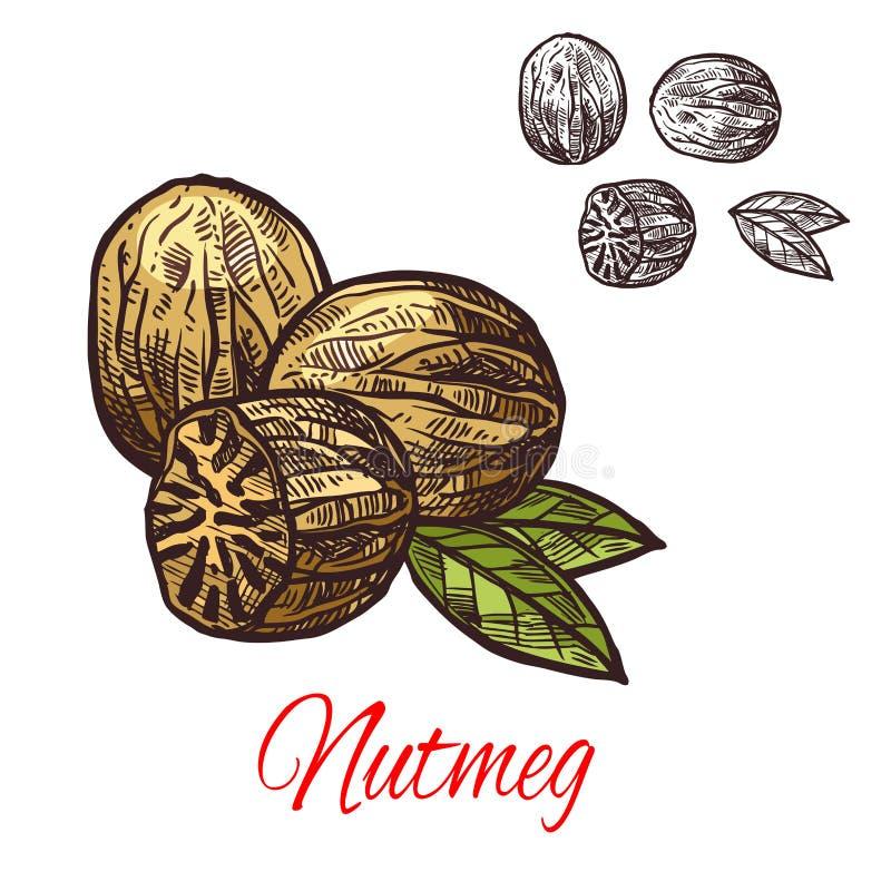 Nutmeg seasoning nut spice vector sketch icon royalty free illustration