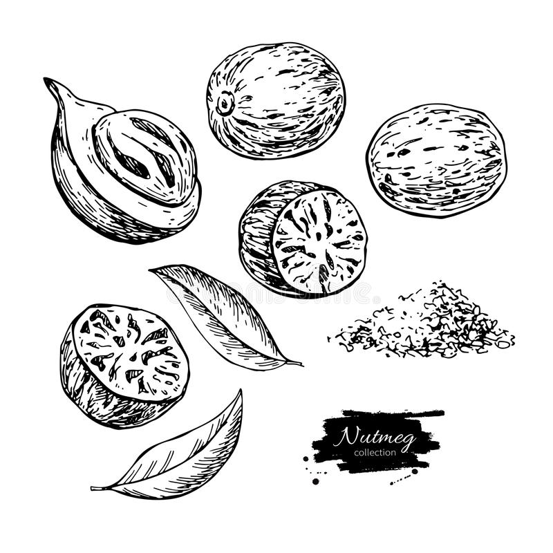 Nutmeg spice vector drawing. Ground seasoning nut sketch. Dried seeds and fresh mace fruits. Herbal ingredient, cooking flavor. Condiment engraved illustration vector illustration