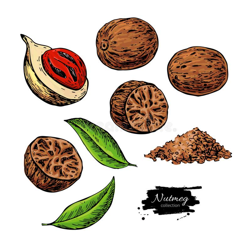 Nutmeg spice vector drawing. Ground seasoning nut sketch. Dried seeds and fresh mace fruits. Herbal ingredient, cooking flavor. Condiment illustration. Great vector illustration