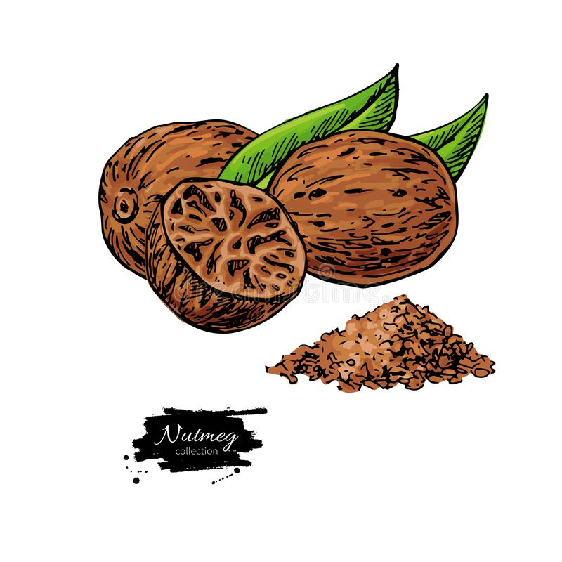 Nutmeg spice vector drawing. Ground seasoning nut sketch. Herbal ingredient, culinary and cooking flavor. Condiment illustration. Great for template label vector illustration