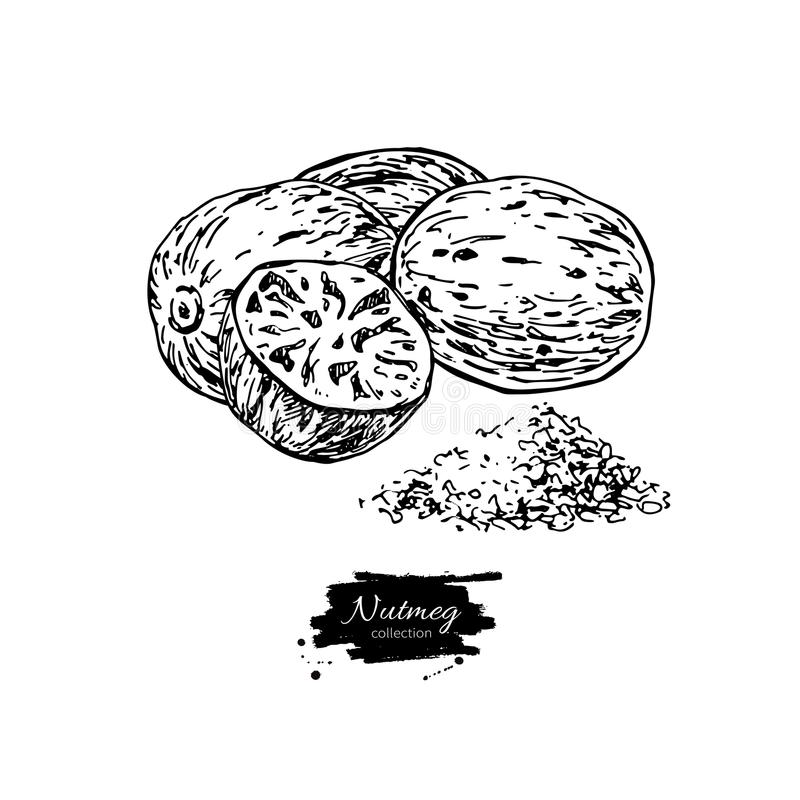 Nutmeg spice vector drawing. Ground seasoning nut sketch. Herbal ingredient, culinary and cooking flavor. Condiment engraved illustration. Great for template royalty free illustration