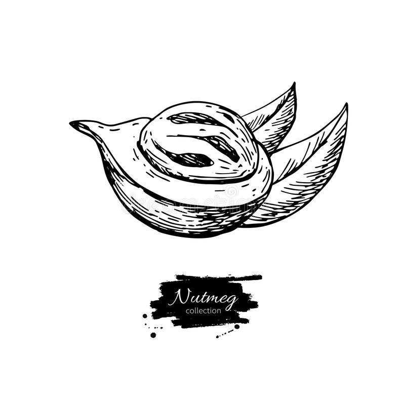 Nutmeg spice vector drawing. Mace fruit seasoning nut sketch. Herbal ingredient, culinary and cooking flavor. stock illustration