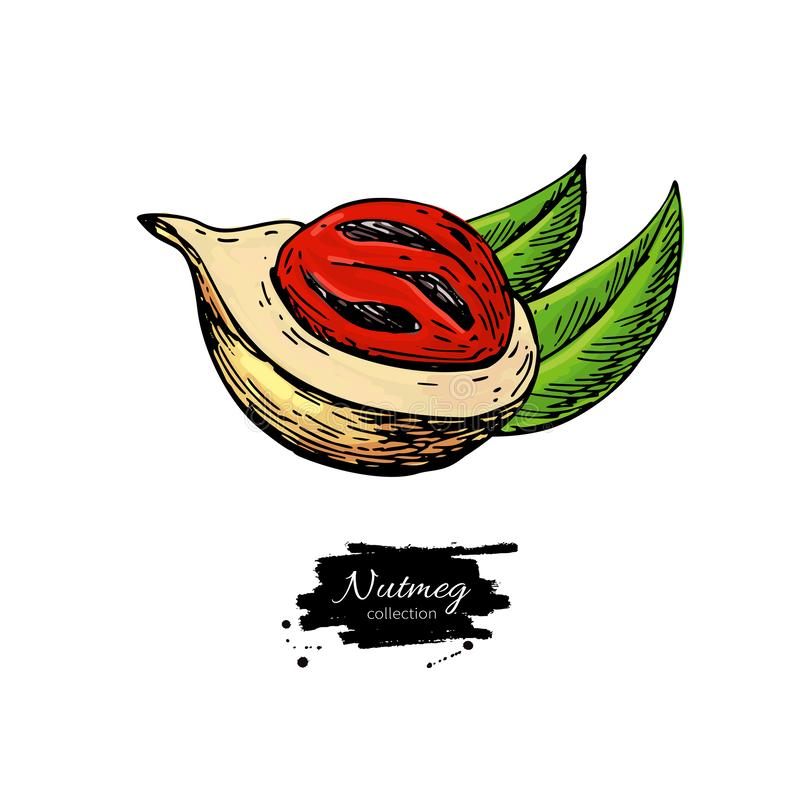 Nutmeg spice vector drawing. Mace fruit seasoning nut sketch. Herbal ingredient, culinary. And cooking flavor. Condiment illustration. Great for template label stock illustration