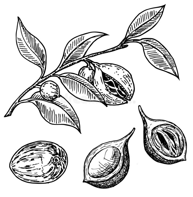 Nutmeg spice vector sketch. Ground seasoning nut. Dried seeds and fresh mace fruits, nutmeg branch. Herbal ingredient, cooking flavor. Condiment. For template royalty free illustration