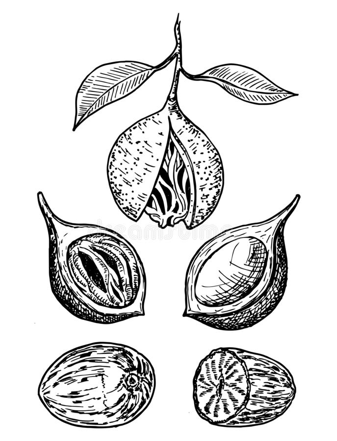 Nutmeg spice vector sketch. Ground seasoning nut. Dried seeds and fresh mace fruits. Herbal ingredient, cooking flavor. Condiment engraved illustration. For vector illustration